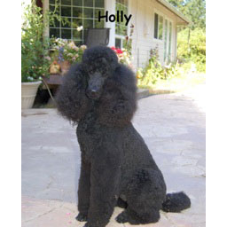 Elektra_Poodles_HOLLYWOOD_STYLE-thumbnail